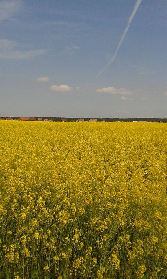 Yellow Rapeseed Oil Fields of Kokoszkowy