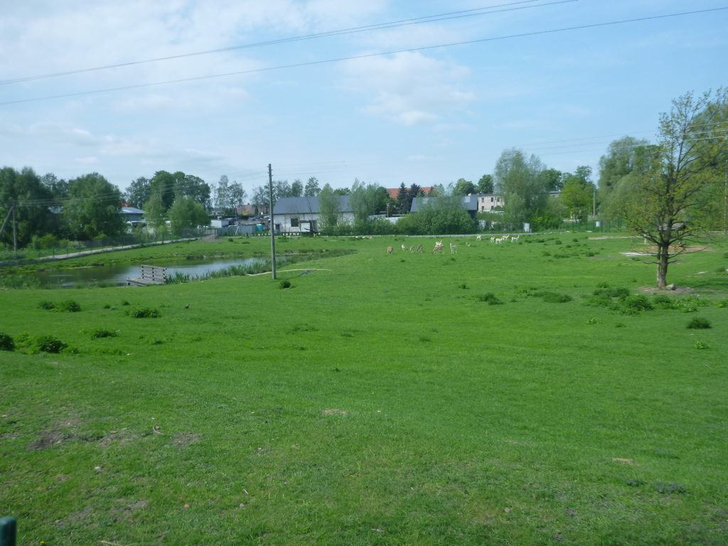 Grazing Deer and Pond in Kokoszkowy